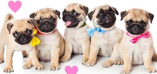 pugs and kisses meme