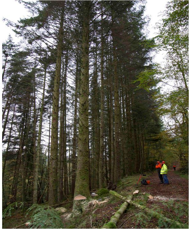A mature stand of Sitka spruce being harvested in Kenmore Forest