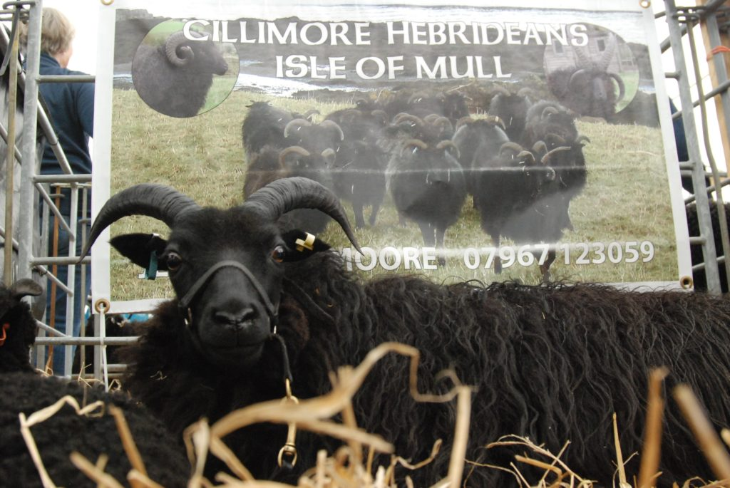 Jeff and Enid Moore travelled from Mull with their Hebrideans. 06_a26RHS06_MooreHebridean