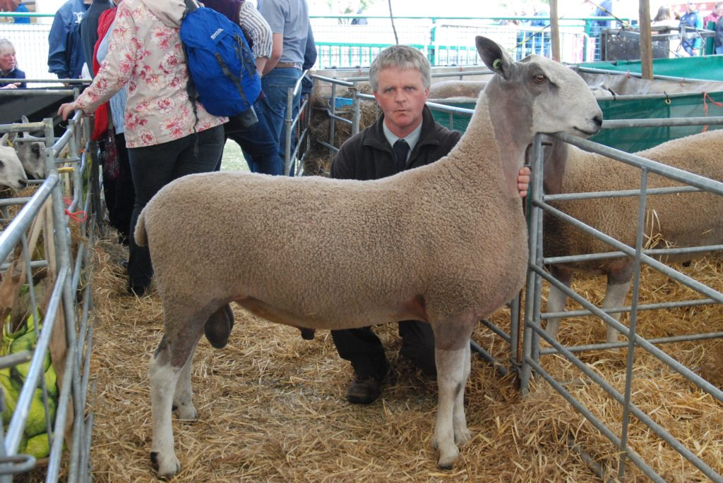 John MacLachlan with the second-placed shearling tp from Kildalloig, Campbeltown. 06_a26RHS26_KildalloigBFL
