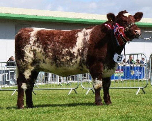 The beef shorthorn champion from the McMillan family on Bute. no_a26RHS02_McMillanBeefShorthorn