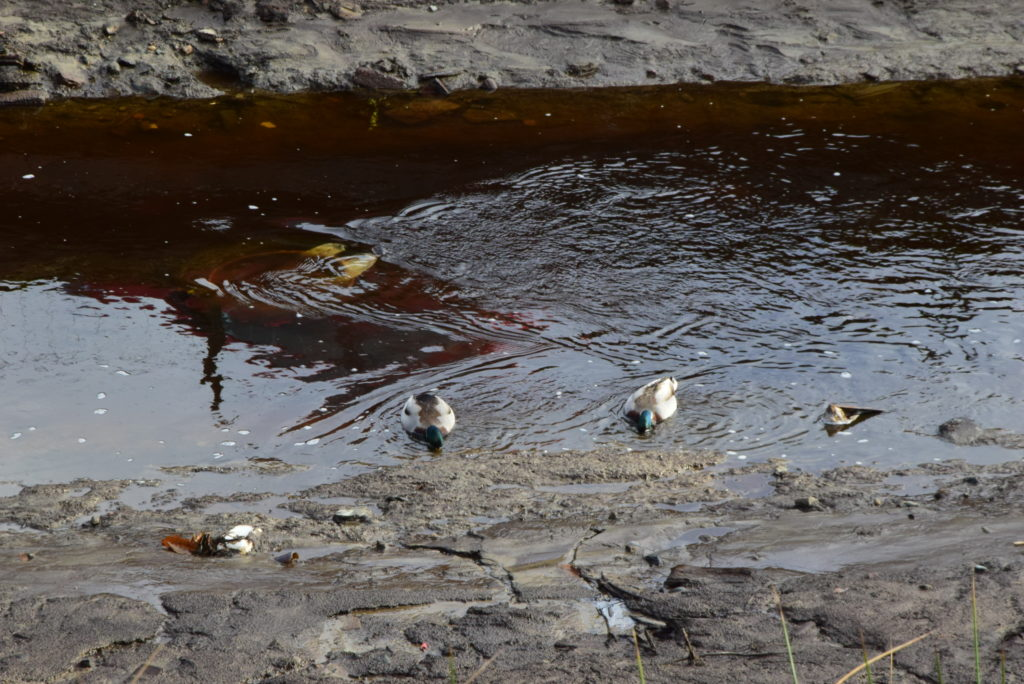 Mallard ducks were quick to take advantage of the newly-emerged sludge for feeding