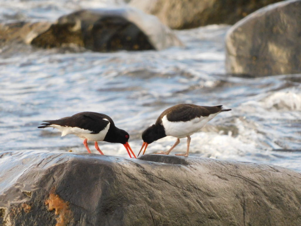 This pair of oystercatchers were captured on camera by Aileen Gillies on July 10 at the Ormsary shoreline.