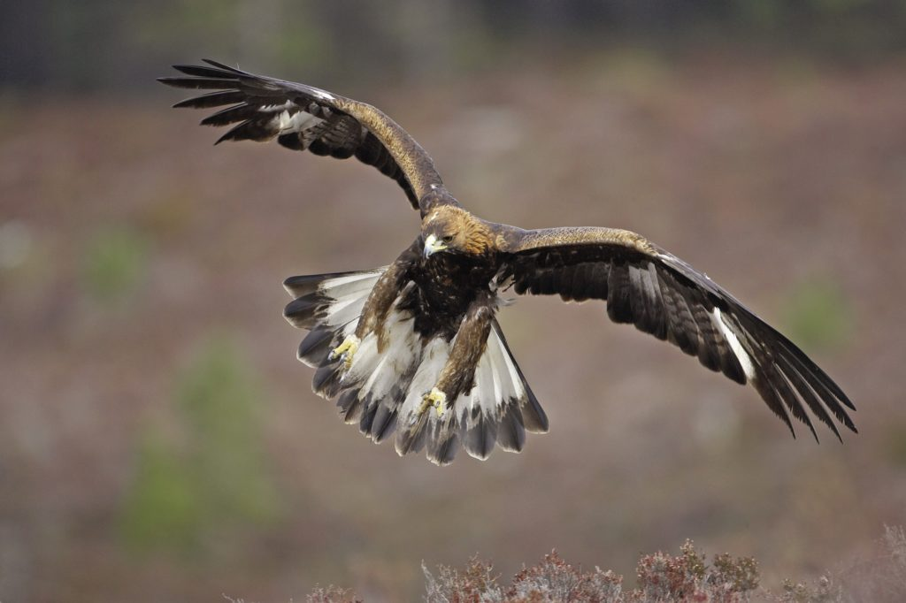 Kilninver golden eagle death prompts union warning