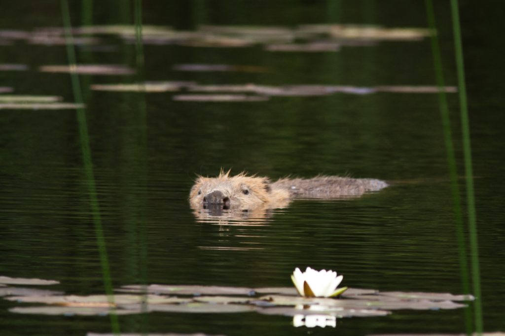 Management is key, say farmers, as beaver protected in law