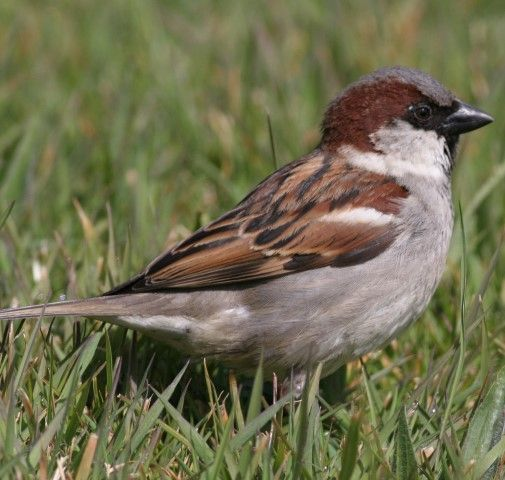House sparrow,  the second most numerous bird counted. Photo by Carl Reavey.