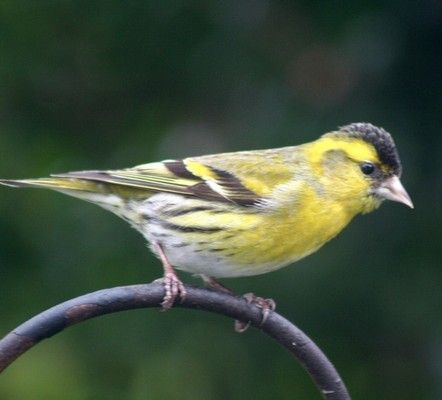Siskin, the third most numerous bird counted and the first time in top ten garden birds. Photo by Angela Cassels