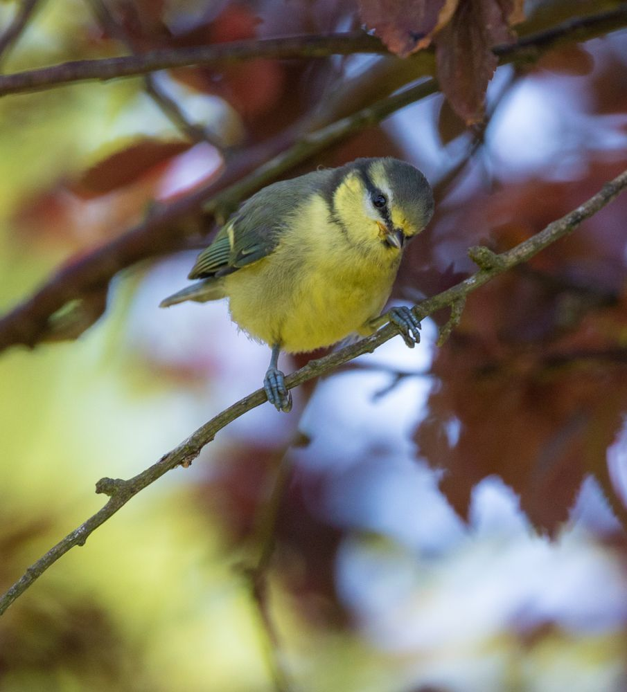 A juvenile blue tit, one of many species of young bird spotted in local gardens. Photo by Nick Giles.