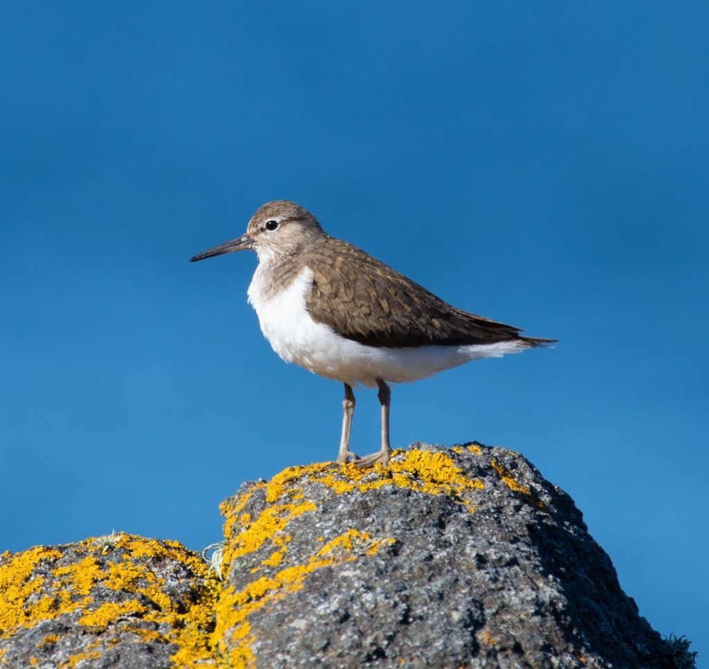 An unfortunate common sandpiper whose hatched young were taken by a cat. Photo by Nick Giles.
