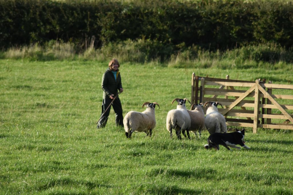 Entrant Susie Murchie and her sheep dog direct the sheep into the pen.