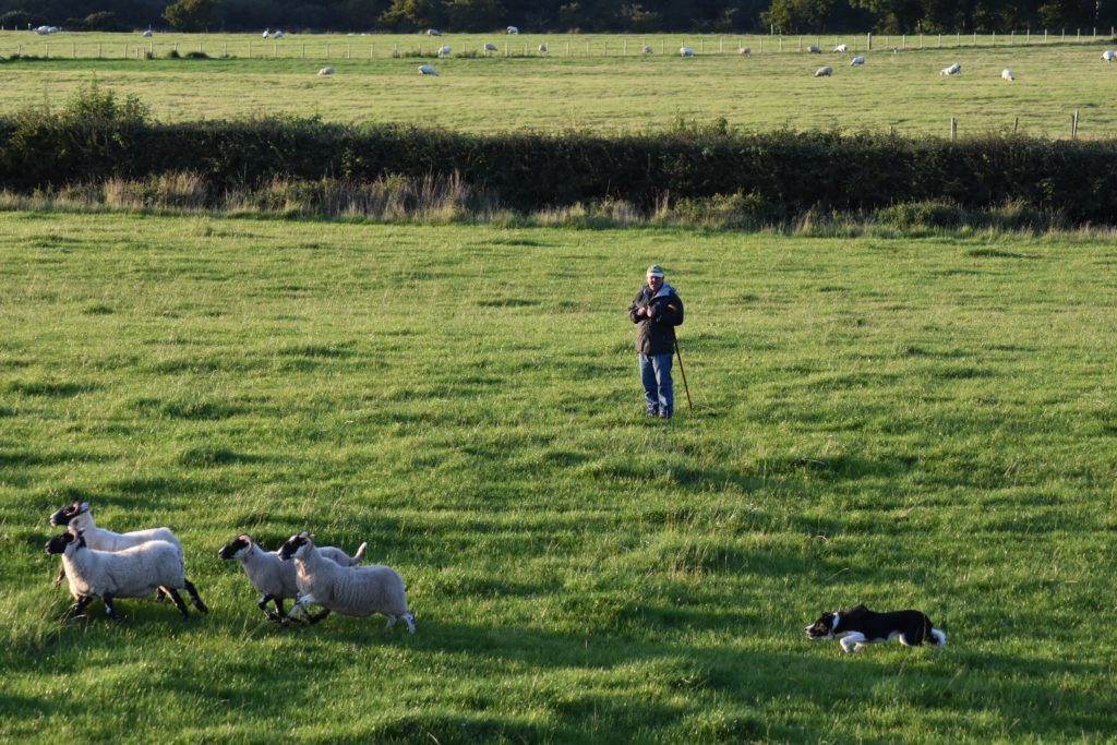 Third place winner Iain McConnell directs Drift in herding four sheep between two posts.