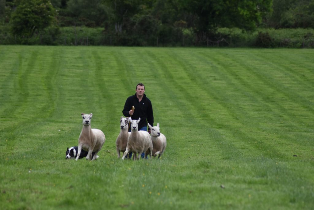 Niall McMaster and his dog Gail herd the sheep towards the pen.