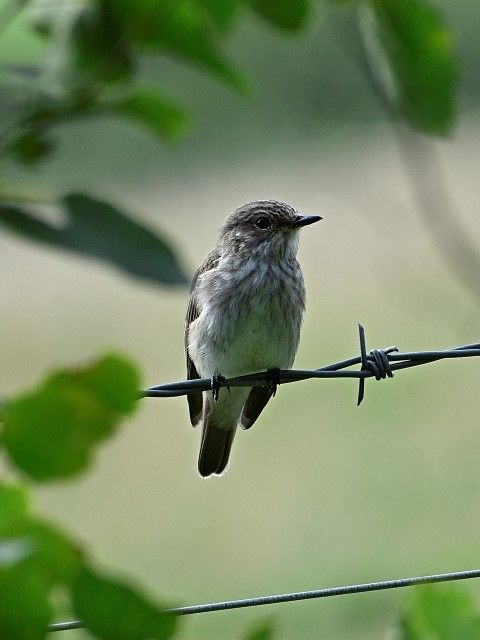 Spotted flycatcher - one of many species that seem to have had a successful breeding season. Photograph: Brian Couper.