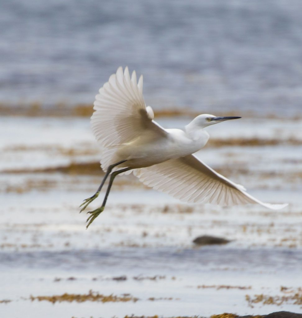 Little egret may colonise Arran. This is the third year in a row that we have had records in August. Photograph: Nick Giles.
