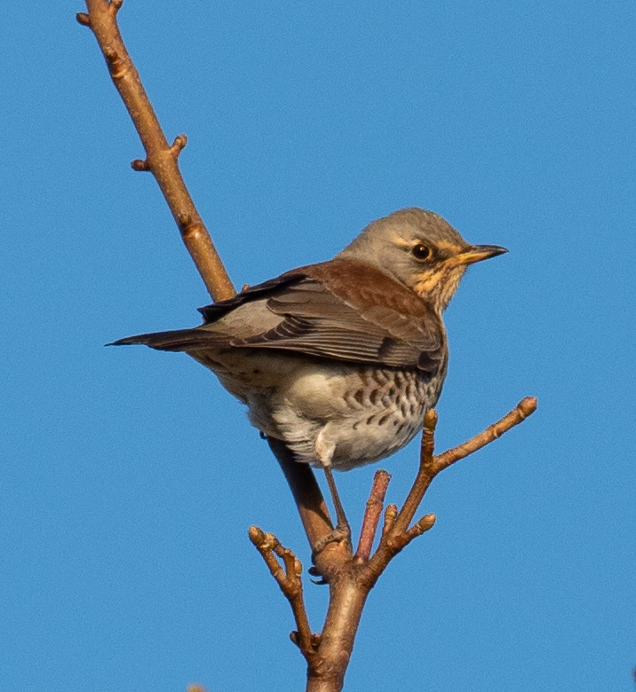 Fieldfare, there have been thousands of these winter thrushes on the island in October. Photograph: Nick Giles.