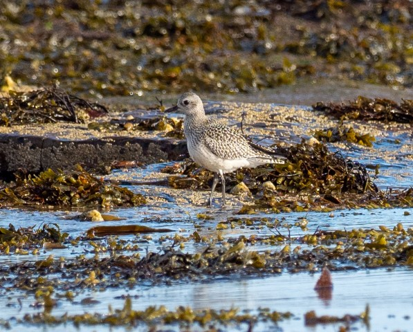 Grey plover, one of many migrant species on Arran in October. Photograph: Nick Giles.