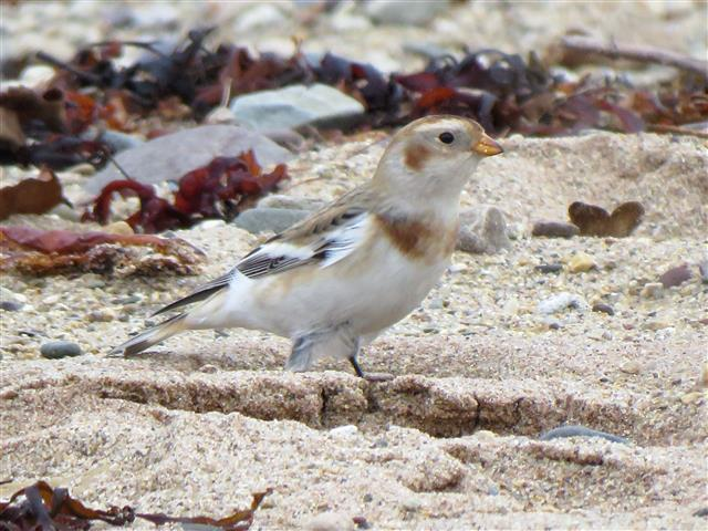Snow bunting, this bird on Brodick beach by Fisherman's walk was a very confiding bird. Photo by Charlotte Clough.