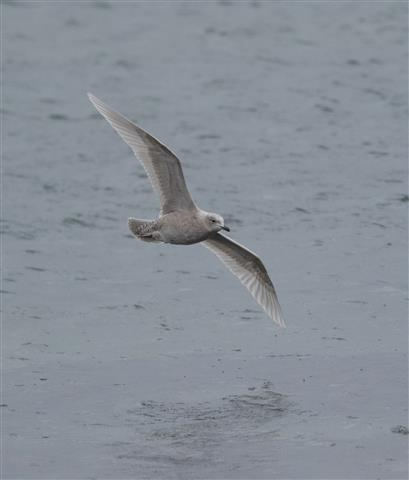 Iceland gull, another winter visitor from the north and the first record this year. Photo by Alex Penn.