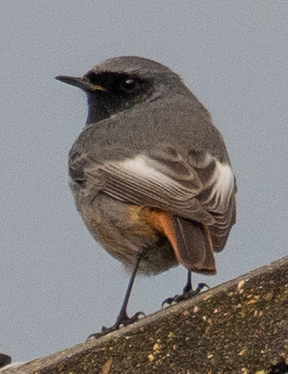 Black redstart, the first record since 2017 of this scarce passage migrant. Photo by Nick Giles.