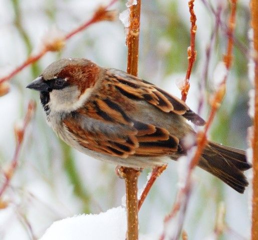 House sparrow the largest number of birds seen. Photo Dennis Morrison