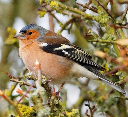 Chaffinch very common seen in all but two gardens and the second highest number of birds seen.