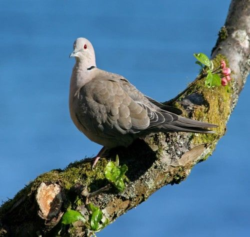 Collared dove first ever Scottish record was 1957 and now in the top ten of garden birds. Photo Tony Church