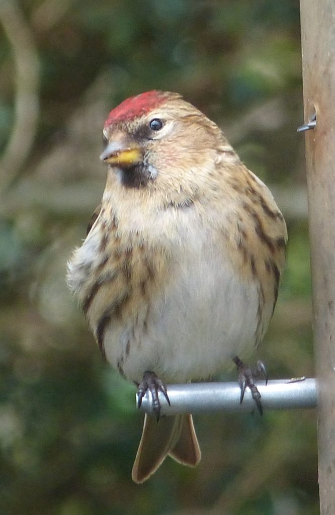 Lesser redpoll not recorded in 2019 but was reported from several gardens in 2020. Photo Angela Cassels