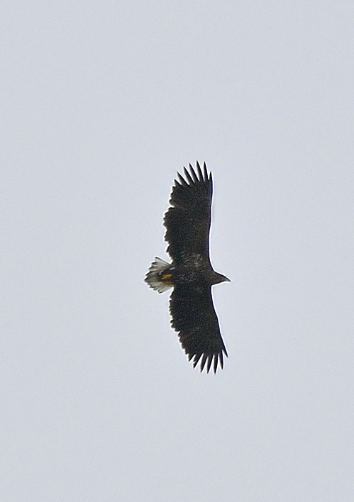 White-tailed eagle were reported at several stretches of the west coast but mainly around Machrie. Photograph: Brian Couper.