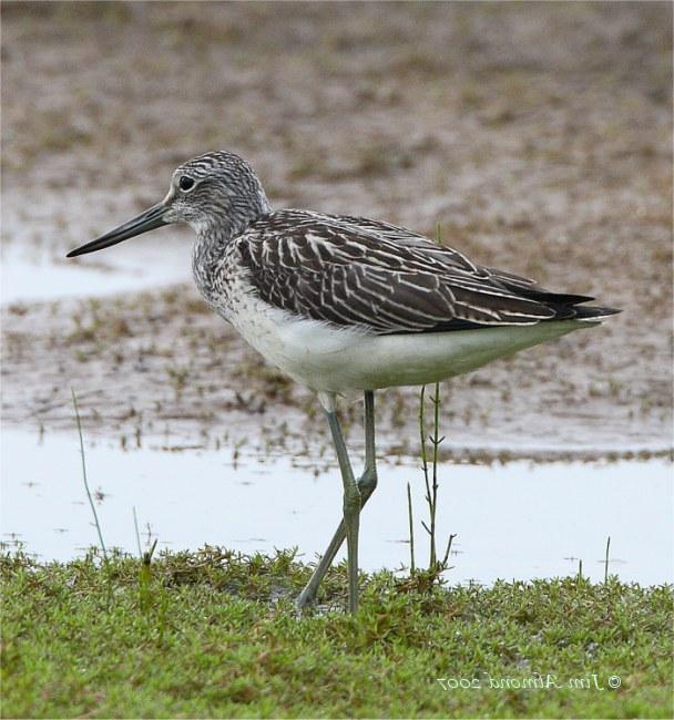 Greenshank, one of many wintering birds reported in January. Photograph: Robert Lambie.