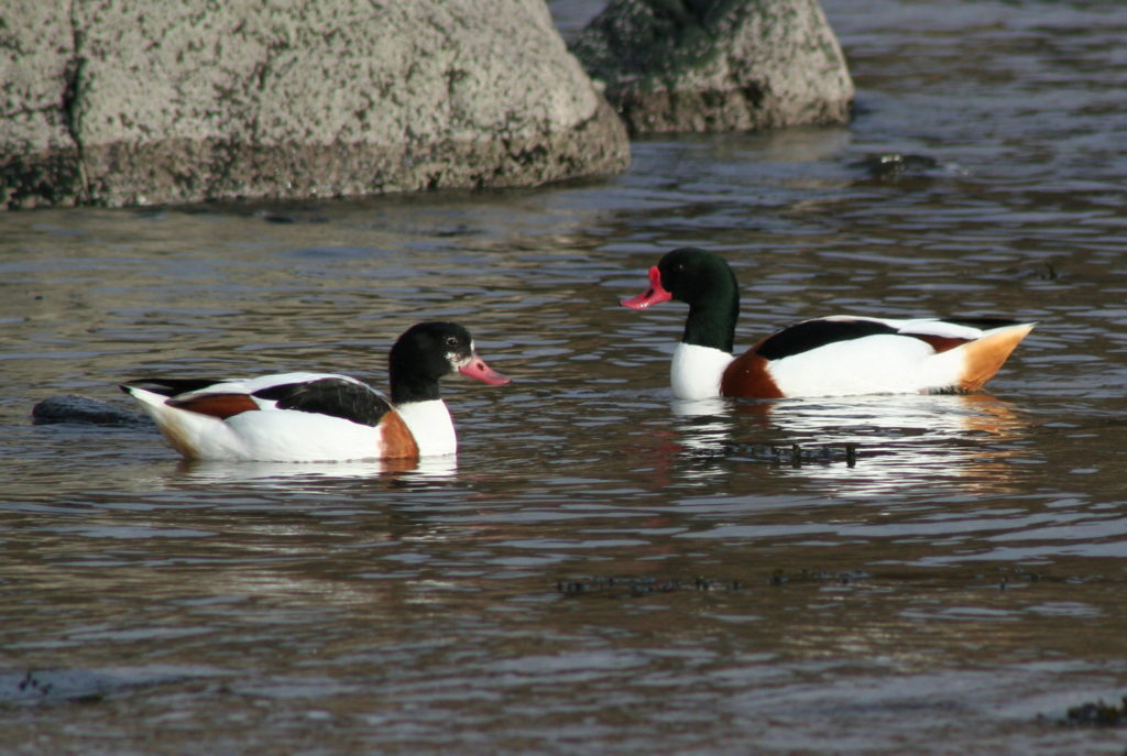 The return of shelduck indicate that spring is on its way. Photograph: Angela Cassels.