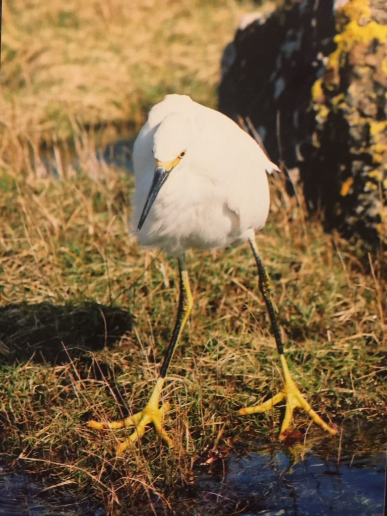 Snowy egret an American bird, a first for Arran and a first for the UK. Photo Lee Hesp.