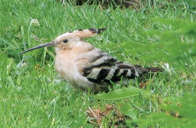 Hoopoe a rare bird that turned up in 2006 while the bird recorder was in Australia only seen by one person but photographed. Photo Graham Ross