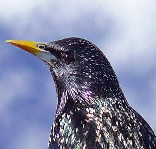 Starling showing its iridescent colouring.