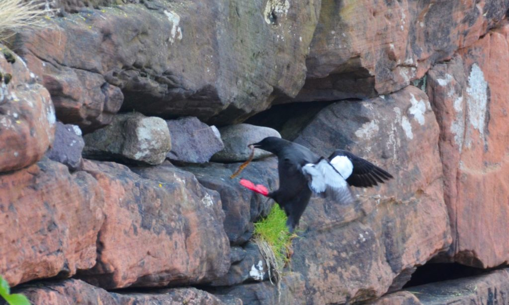 Black guillemot carrying food into colony.
