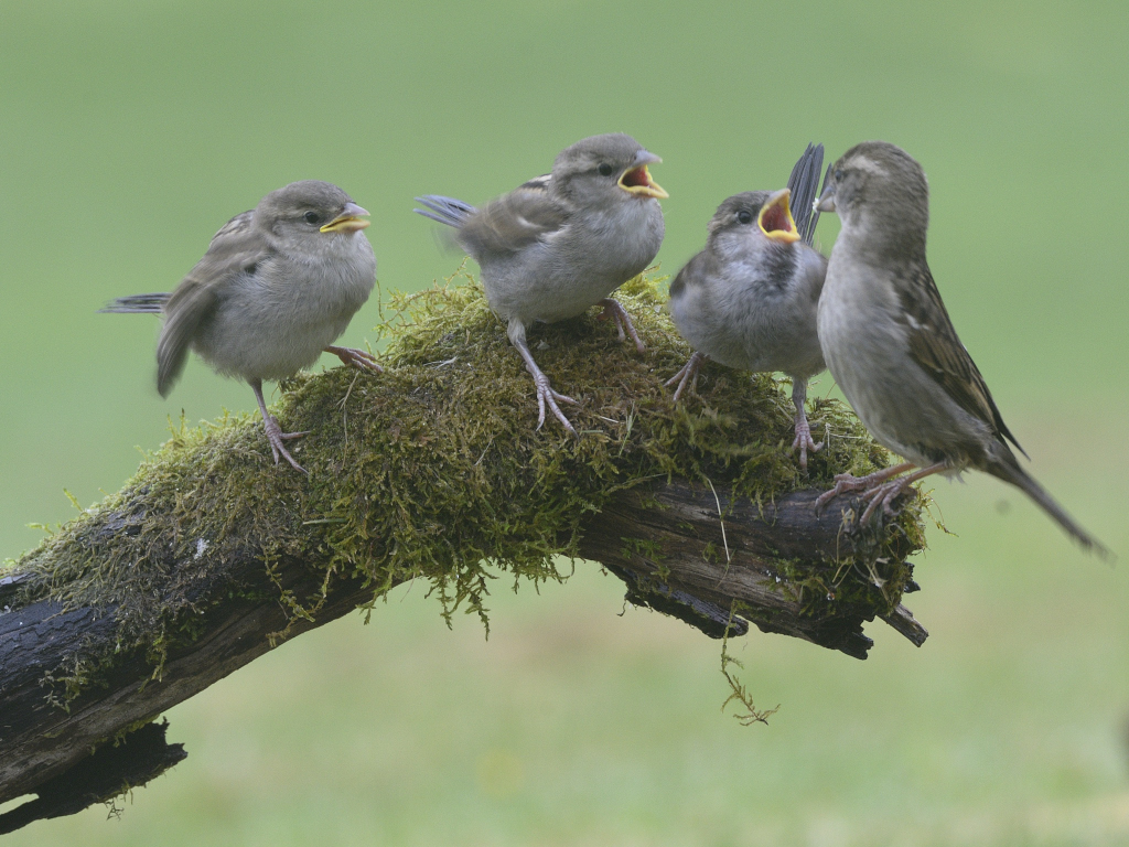 House sparrow feeding young. Photo Brian Couper