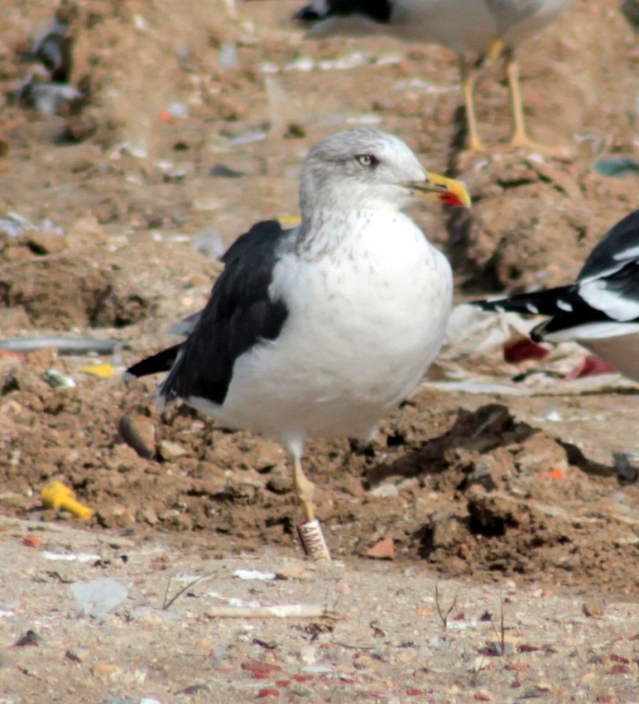 Bird 4MB:C photographed in refuse tip in Madrid, Spain. Photo Javier Marchamato