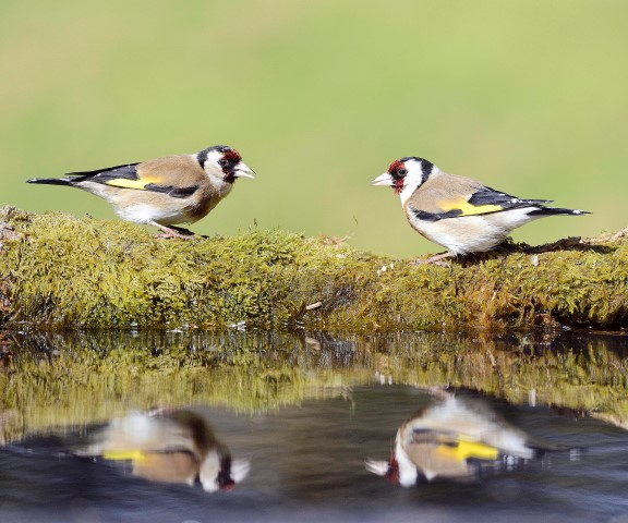 Colourful Goldfinch have also had a great breeding season.