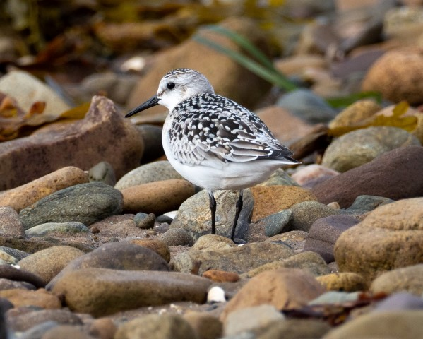 Sanderling, an Arctic breeding bird, heads south at this time of year. Photograph Nick Giles