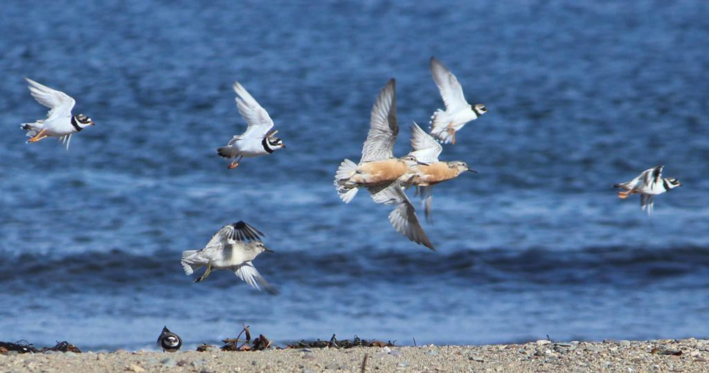 Knot caught in flight with smaller ringed plover. Two of the Knots with the pinkish belly are adult birds in breeding plumage. The third grey bird is in non-breeding plumage. Another Arctic breeding bird moving south. Photograph Kate Sampson