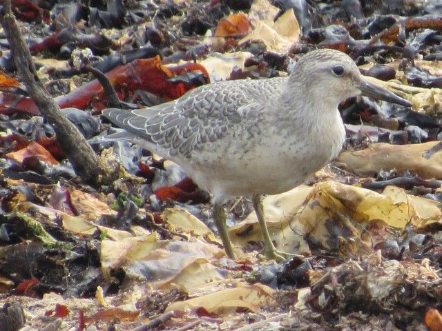 Knot, one of number of regular Arctic breeding birds migrating through Arran at this time. Photo Simon Davies.