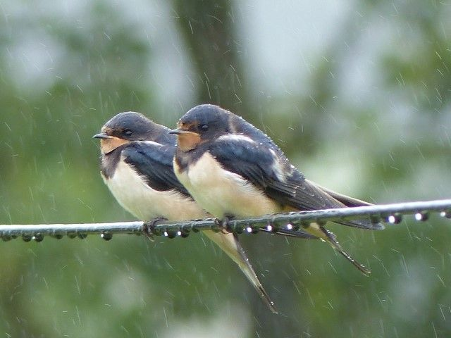 Swallow are among the few summer migrants still lingering. Photo Shona Redmayne