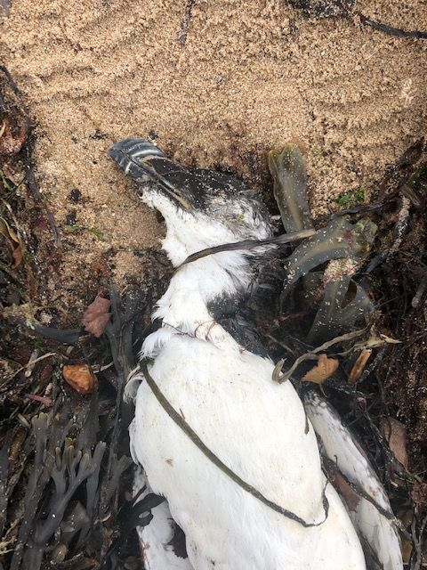 A dead razorbil, one of the victims of the August named storms. Photo Jim Cassels.