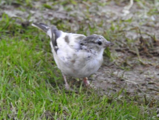 The rare chaffinch. Photo  Linda Walker