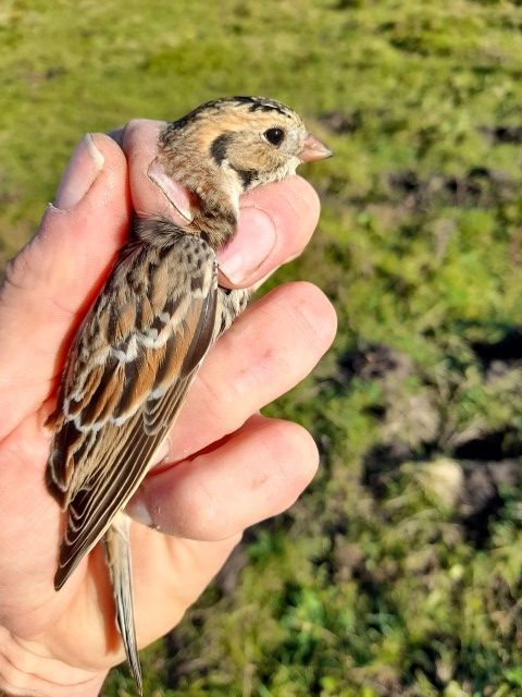 Lapland bunting by Chris Southall. This is the first record on Arran of this Arctic breeding species.