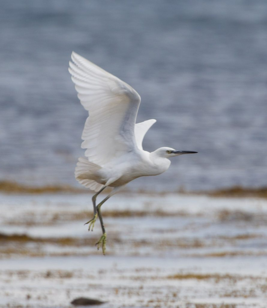 Little egret by Nick Giles. Another colonising species spreading north through the UK. Three birds on Arran in October.