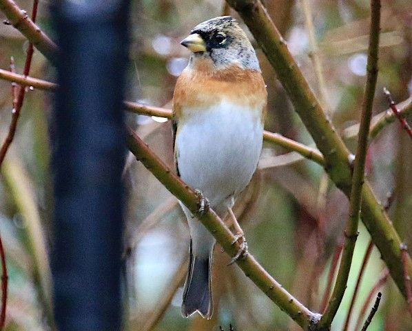 Brambling by David Russell. Look out for these wintering finches among the flocks of the familiar Chaffinch this winter.