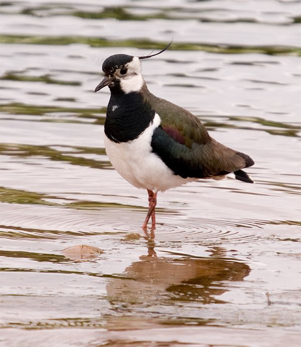 Lapwing by Robert Lambie. One of many species whose numbers build up on Arran at this time of year as birds from the colder continent move west to milder climes.