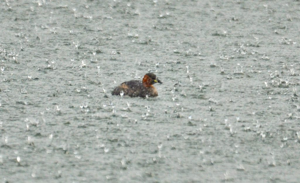 Little grebe in hail storm by Arthur Duncan. I thought this captured the season of October!