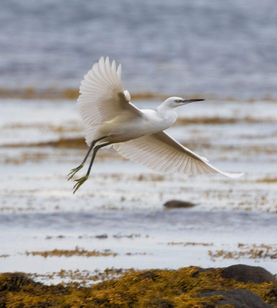Little egret bred for the first time in Scotland in 2020 and are spreading north. One to look out for. Photo Nick Giles
