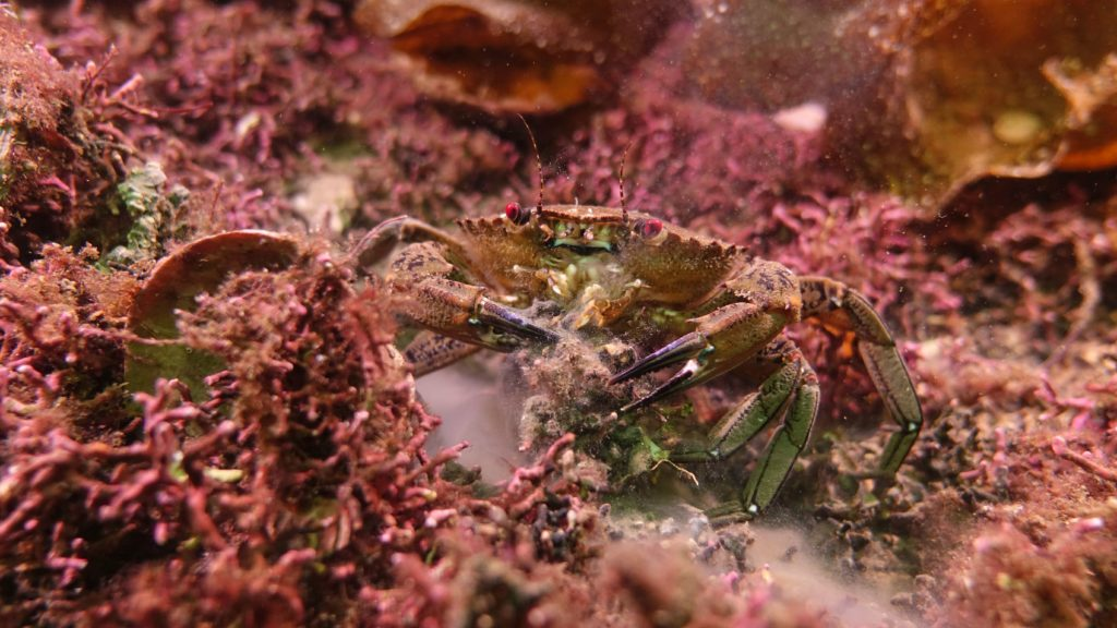 Velvet crab on maerl. Photograph: Howard Wood